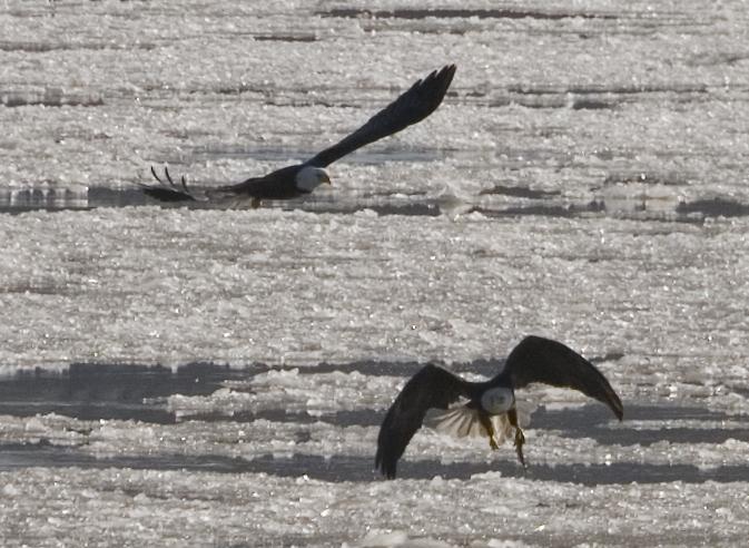 Ice Fishing Eagles