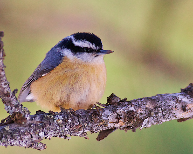 """""""Pale-Orange""""-breasted Nuthatch"""