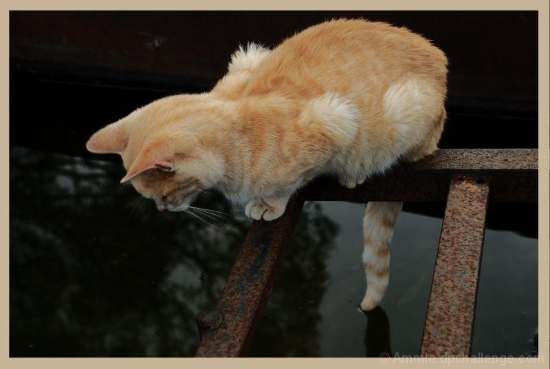 Fisher, the Orange Cat
