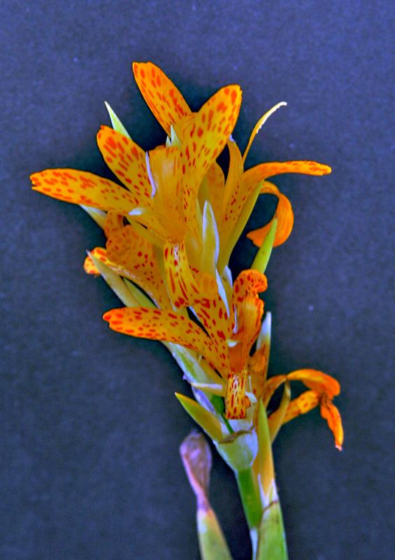 Orange Speckled Camas