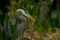 Great Blue Heron and a Fish