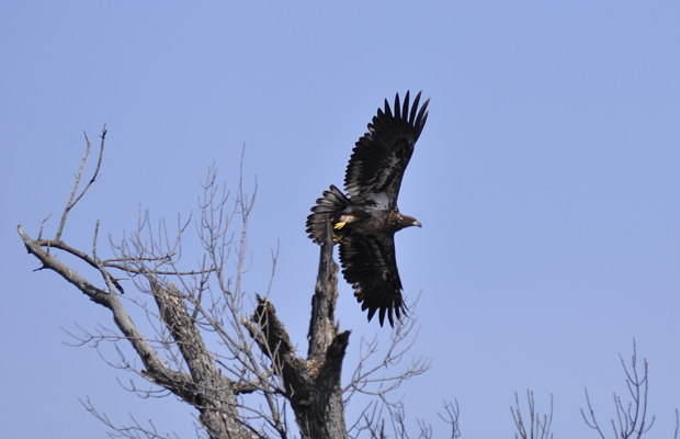 Golden Eagle Taking Flight