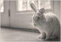 Resentful Rabbit