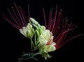 Flor de Mesquite