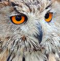 Boris, Siberian Eagle Owl