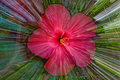 Hibiscus Zoom