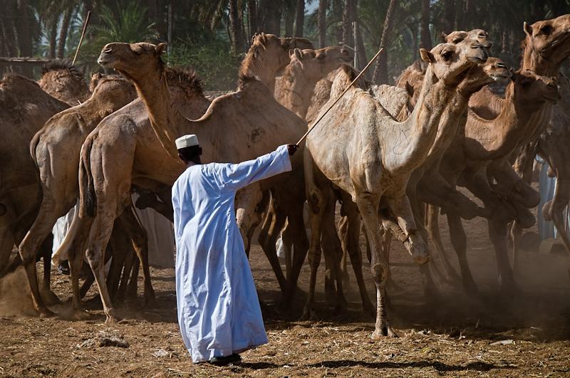 the camelherder