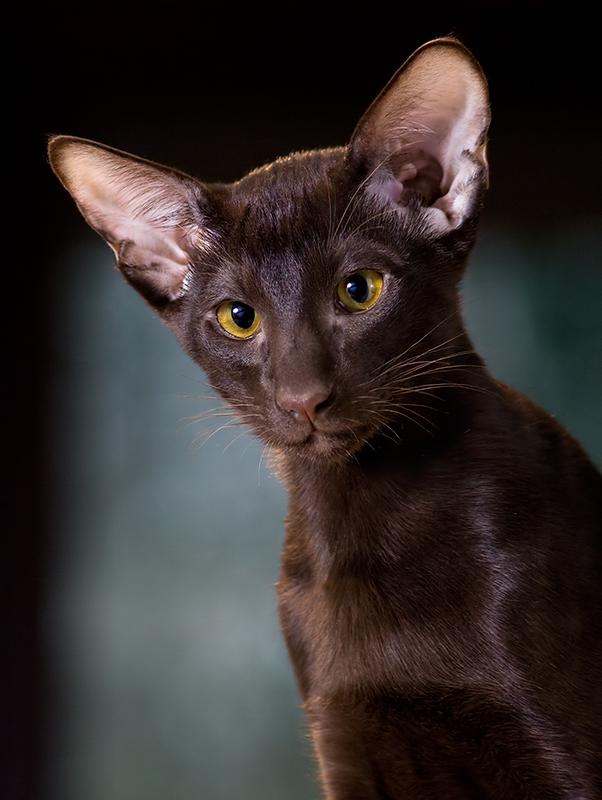 Kitten Short Oriental Short Hair Kitten