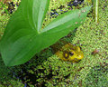 Under the Lily Pad