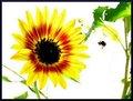 Wingless Bee