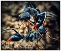 Bull Ants - A Territorial Dispute