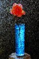 The Orange Rose in a Blue Vase