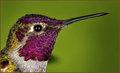 Anna's Hummingbird with raindrops