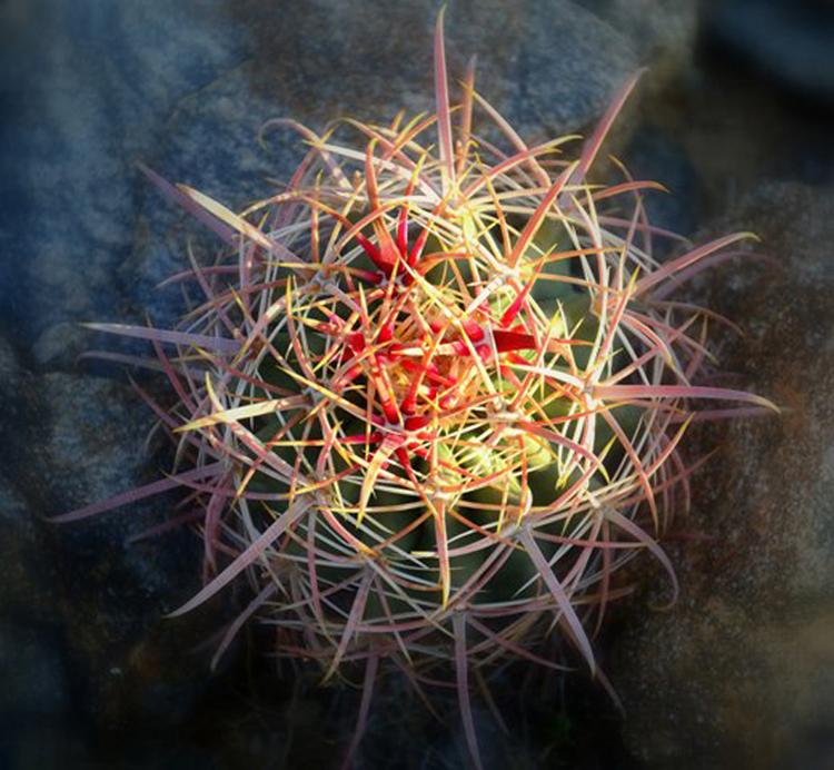 Baby Barrel Cactus by malski - DPChallenge Baby Barrel Cactus