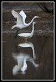Egret Ballet
