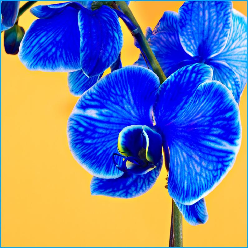Blue Diamond Orchid