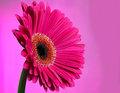Dark Pink Gerbera