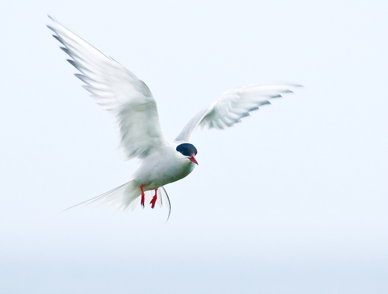 Arctic Tern, May, Birds of the World 2011