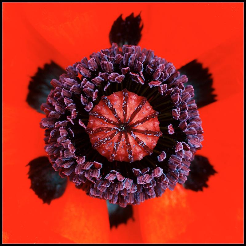 Flowers by Design- June- The Poppy