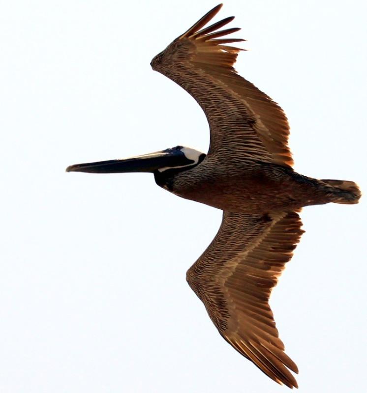 Brown Pelican Migration. March
