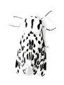 Dalmation Moth