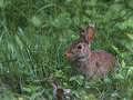 Hare today, hare tomorrow. Longevity lessons from the lowly rabbit.