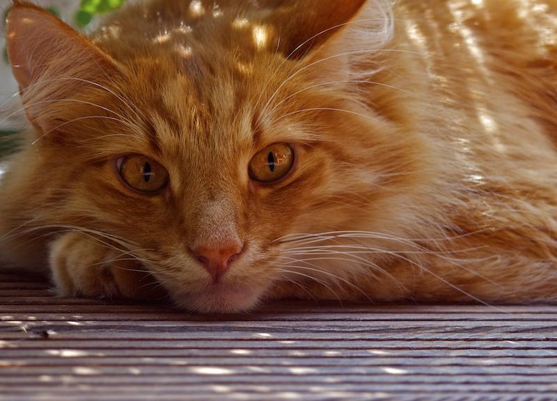 Cat`s midday laziness