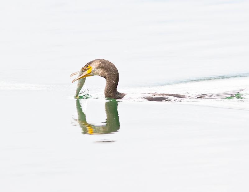 Cormorant & Catch