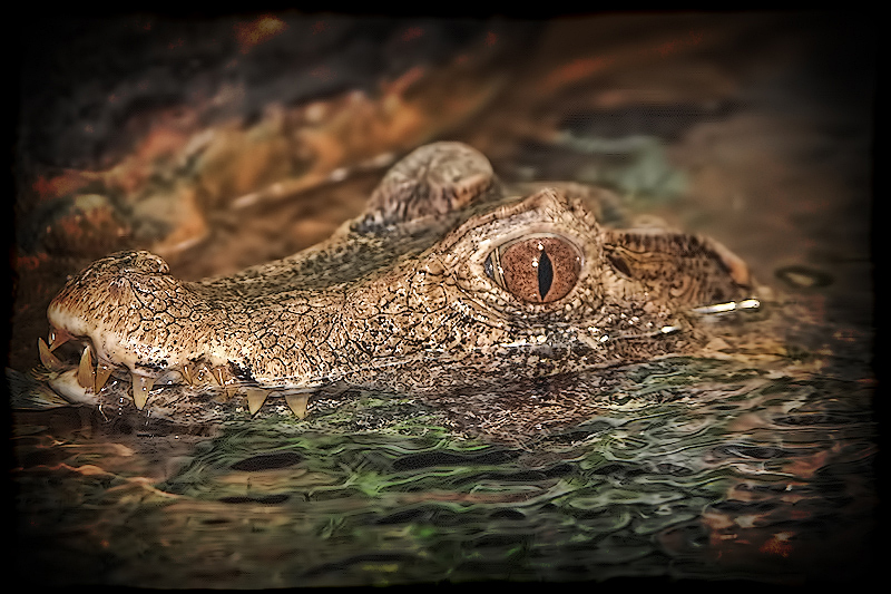 C is for... Caiman!