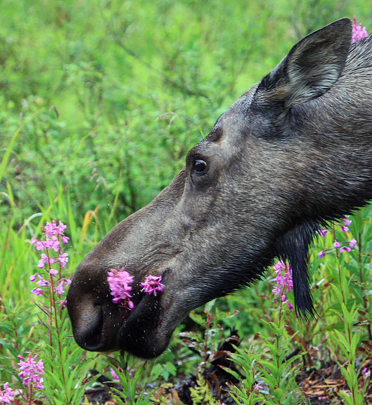Cow (female) moose, taking time to stop and eat the flowers