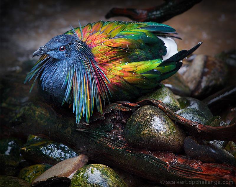Colorful Caloenas