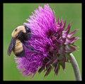 Mr. Bumble Bee pollinates Nodding Thistle