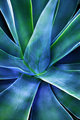 Agave Beauty