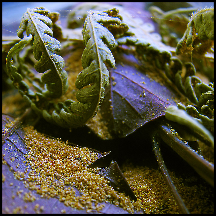 how to start ferns from spores