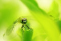 the green dragonfly