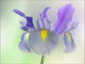 Sensual (Iris)