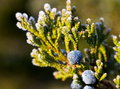 Frosty Morning Juniper