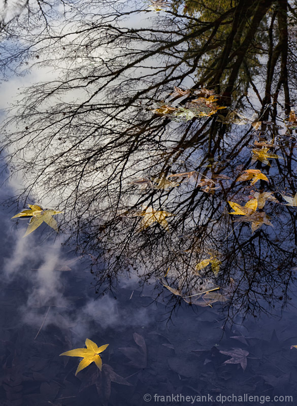 Maple Reflection