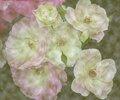 Circular Roses