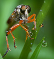 Robberfly with dewdrops
