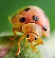 Hairy Ladybird