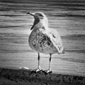 screaming gulls