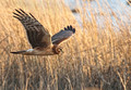 Northern Harrier - The Marsh Hawk