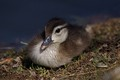 Baby Wood Duckling