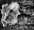 No Rose No Driftwood