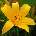 Yellow Alpine Lily