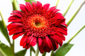 A gerbera for Shez and Peter