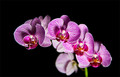ORCHID FOR SHEZ