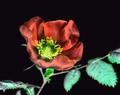WILD SHE ROSE