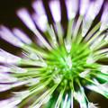 Dandelion Before Dawn